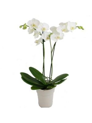 Бяла орхидея в саксия